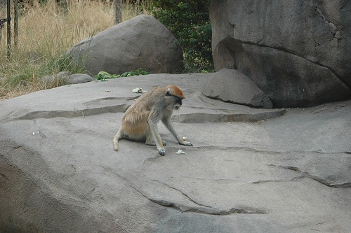 Patas Monkey Vomiting